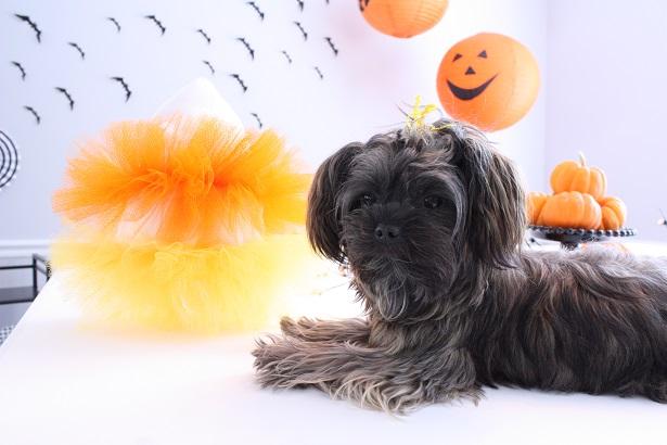 Easy Candy Corn Pet Costume | Kim Byers